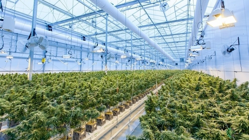 Investment Opportunities In Africa's Cannabis Industry